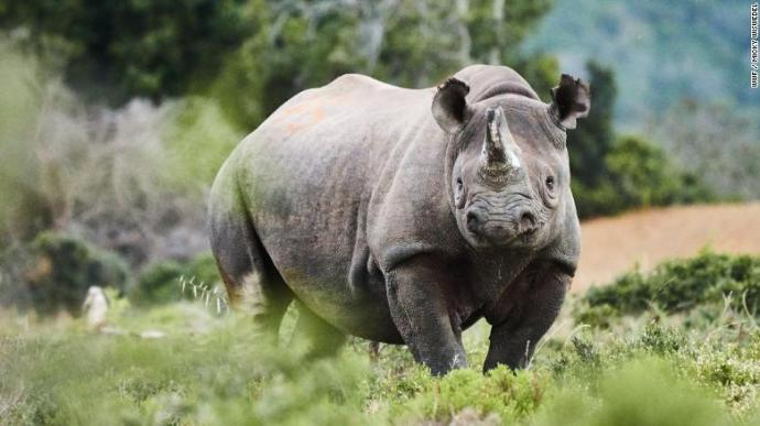 Black rhinos are critically endangered, but their numbers are recovering.