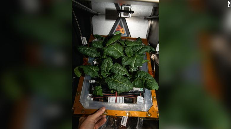 Amara mustard plants are currently being grown on the space station.