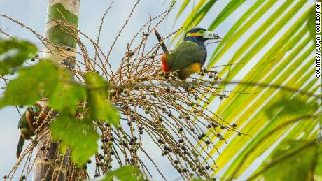 More than 1,000 species of birds live in the Atlantic Forest. Many, like this spot-billed toucanet, feed on juçara berries.