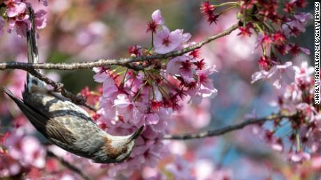 A bird stands next to cherry blossoms in a park in Tokyo, Japan, on March 23.