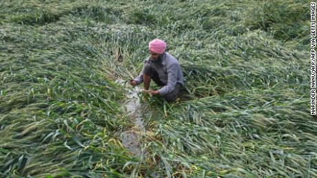 After heavy rains in the region on 23 March 2021, wheat near Amritsar has deteriorated.