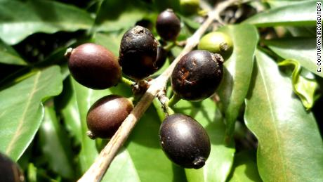 This rare bean forgotten for half a century can save the coffee industry of Sierra Leone
