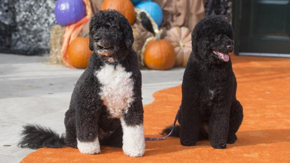 The First Family's dogs, Bo and Sunny, pose for photos on the South Lawn of the White House on October 30, 2015.