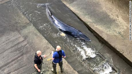 Young whale trapped in London's River Thames euthanized