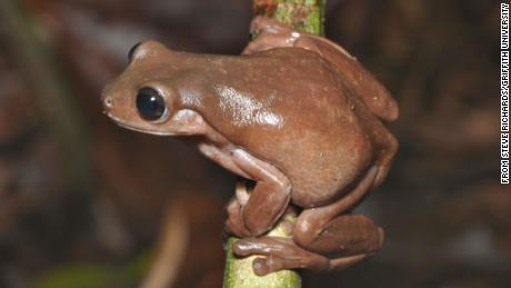 The creature was so named for its chocolate coloring.