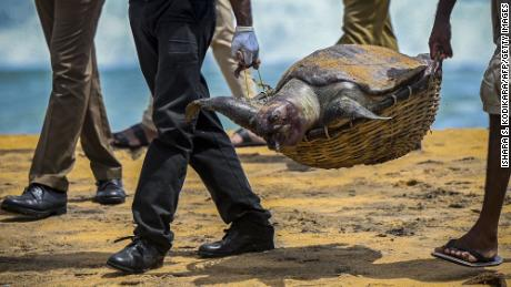 Wildlife officials carry away the carcass of a turtle that was washed ashore at the beach of Angulana, south of Sri Lanka's capital Colombo on June 24.