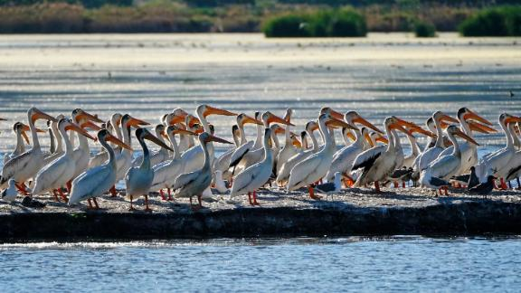 Pelicans gather in June on an island on Farmington Bay near the Great Salt Lake.