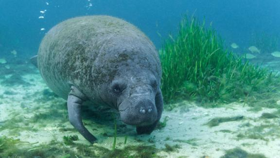 It's been a rough year for manatees.