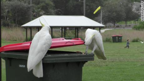 The study found that sulphur-crested cockatoos in Sydney learned from each other to lift rubbish bin lids for food.