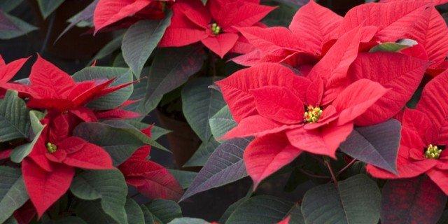 Come Far Tornare Rossa La Stella Di Natale Cose Di Casa