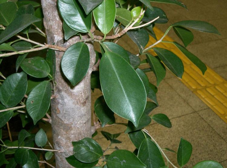 ficus-plant