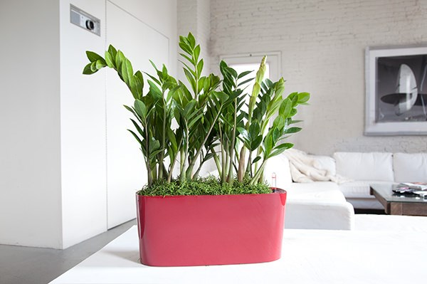 Choosing The Best Indoor Plants For Your Interior View in gallery Zee zee plant in a colorful pot