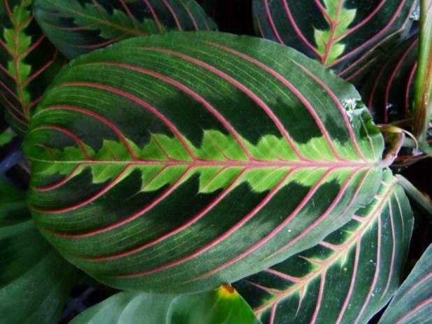 Beautiful prayer plant leaf