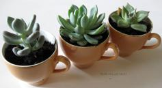 Diy Succulents Teacups