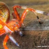 Marbled Orb Weaver Spider Halloween Pumpkin