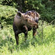 Moose Cow Side Road