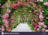 Ornamental Rose Rosa Spec Arches Garden