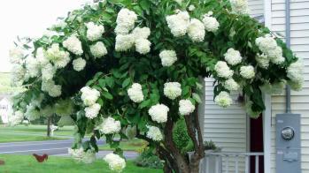 Peegee Tree Hydrangea Paniculata