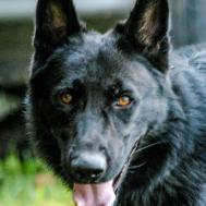 Police Dogs Sale Malinois