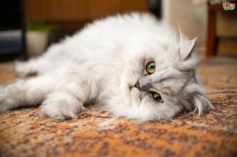 Popular Flat Faced Cat Breeds Pets4homes