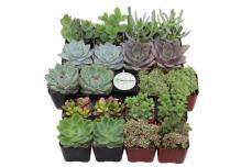 Premium Pastel Succulent Plant Collection Live
