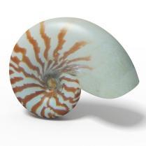 Seashell Nautilus Sliced Model Obj 3ds C4d