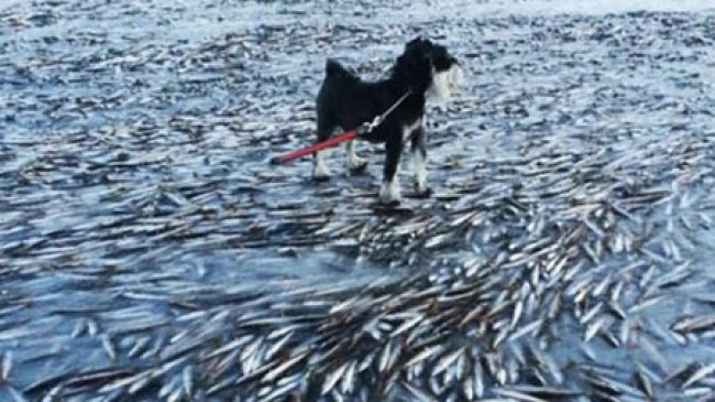 Ribuan Ikan Membeku di Dekat Pantai Norwegia