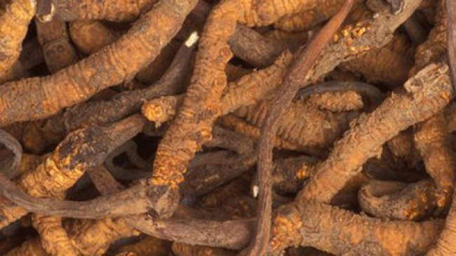 Jamur Aneh ini memiliki segudang khasiat kesehatan