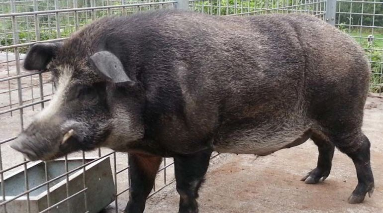 خنزير العصر الحديدي Iron Age Pigs