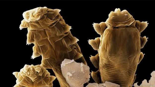 حشرات العث المجهرية
