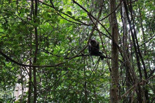 """The Lion Tailed Macaque has been classified as """"endangered"""" by the International Union for Conservation of Nature. The animal had become the mascot of the Save Silent Valley movement in the 1970s and 80s, with protestors arguing that a hydropower project would destroy its habitat  Credit: Jemima Rohekar"""