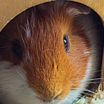 10 Best Guinea Pig Hideouts Must Read Reviews For December 2020