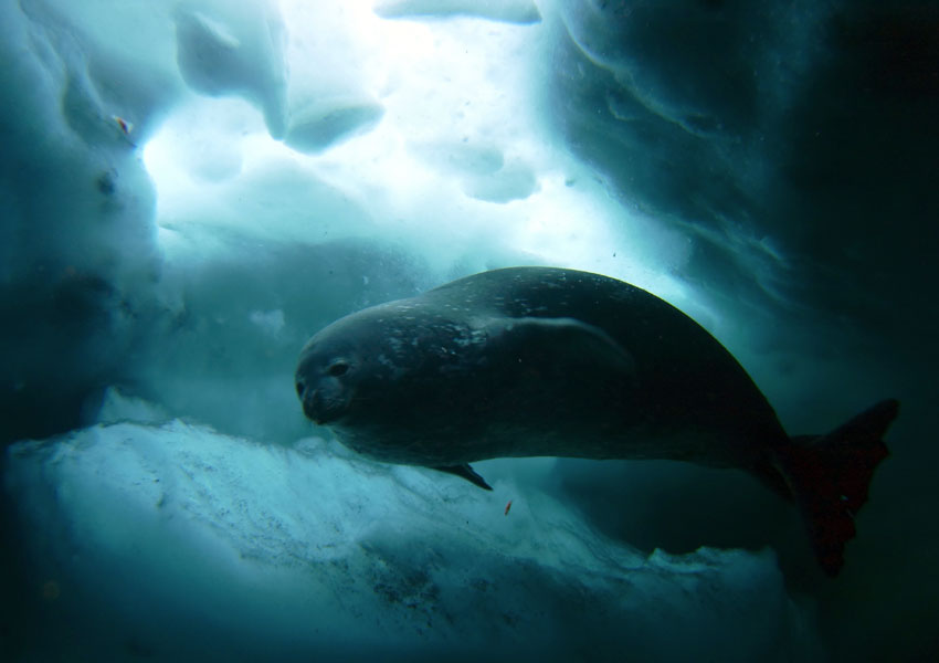 Photograph of a seal under the sea ice