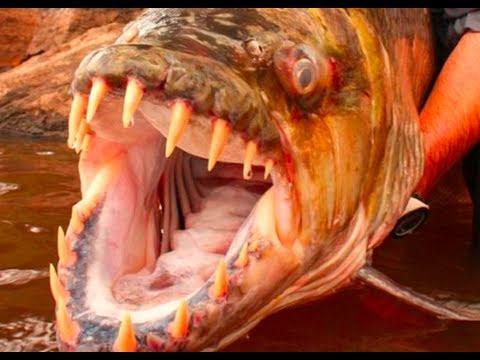 Image result for biggest piranha