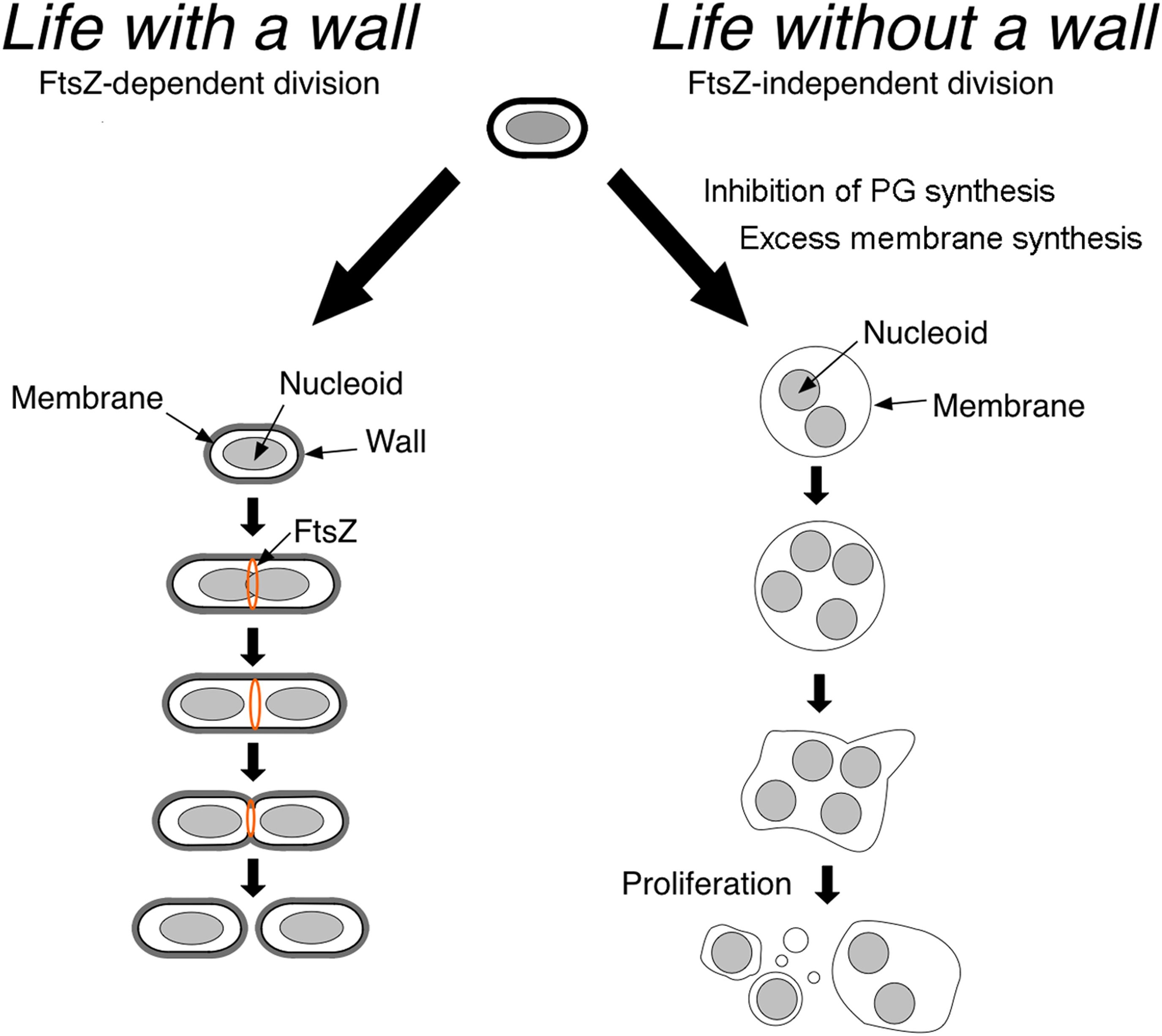 A Diagram Of Prokaryotic Bacteria