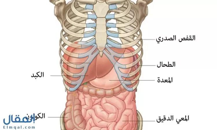 موقع الكبد والطحال في الجسم