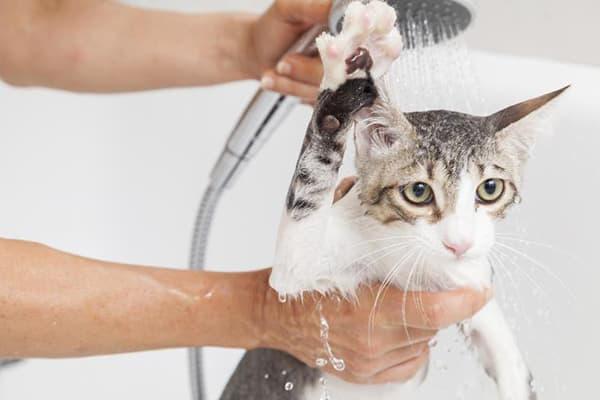 Mèo mướp: Đặc điểm, tập tính, cách nuôi và huấn luyện - 9