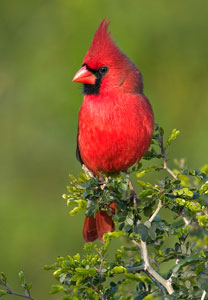 Northern Cardinal Bird Gallery Houston Audubon