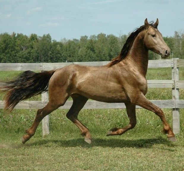 Классическая шампанская животные, лошадь