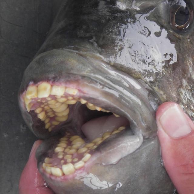 21. Рыба с человеческими зубами красота, удивительное рядом, фото, фотошоп