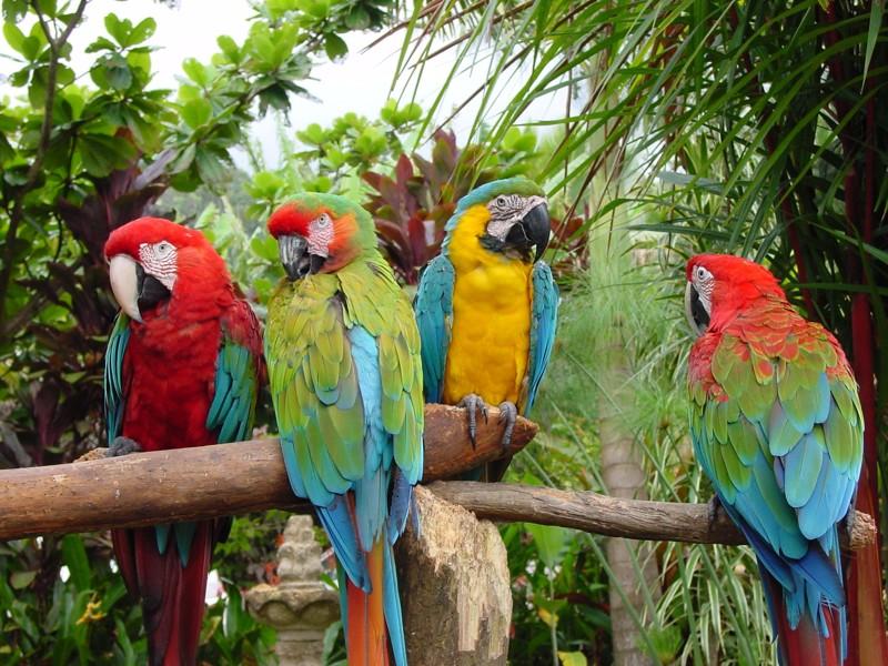 По краям: зеленокрылые, в центре – сине-желтый и солдатский ары. гифки, животные, история, попугай ара, факты