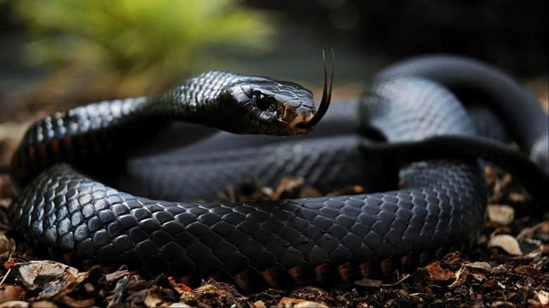 5. Черная мамба животные, мир, опасность