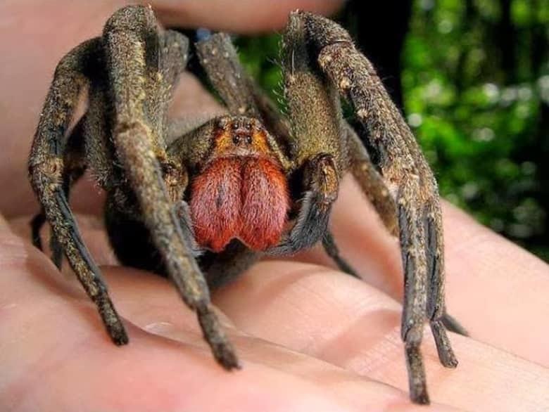 8. Бразильский блуждающий паук животные, мир, опасность