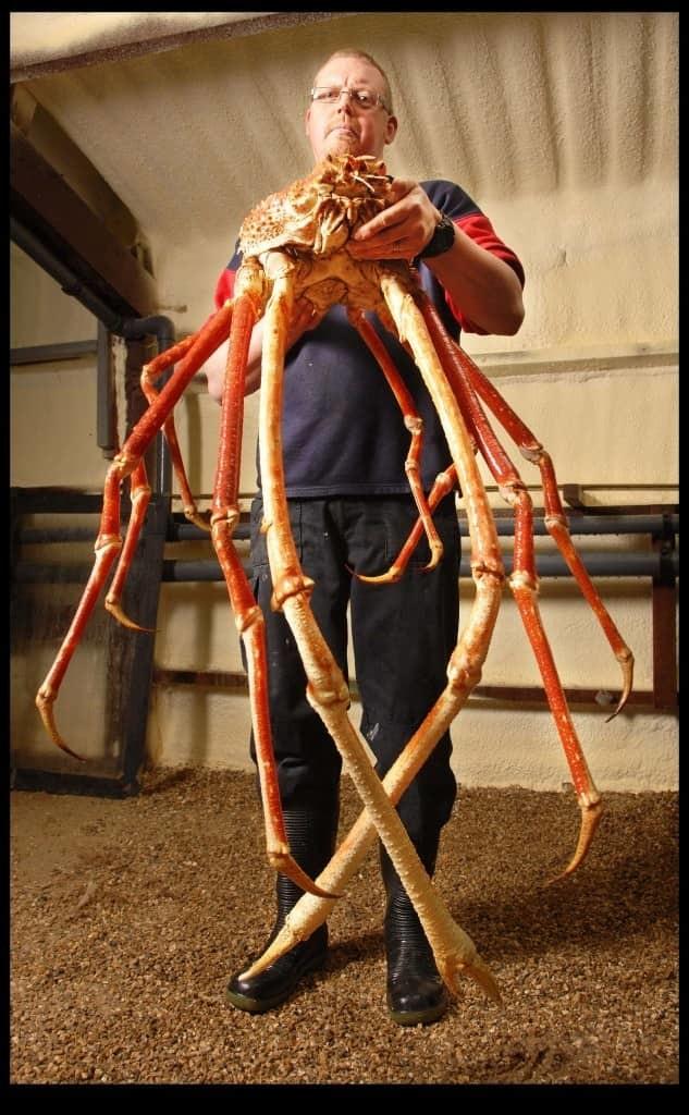 13. Японский краб-паук животные, мир, опасность