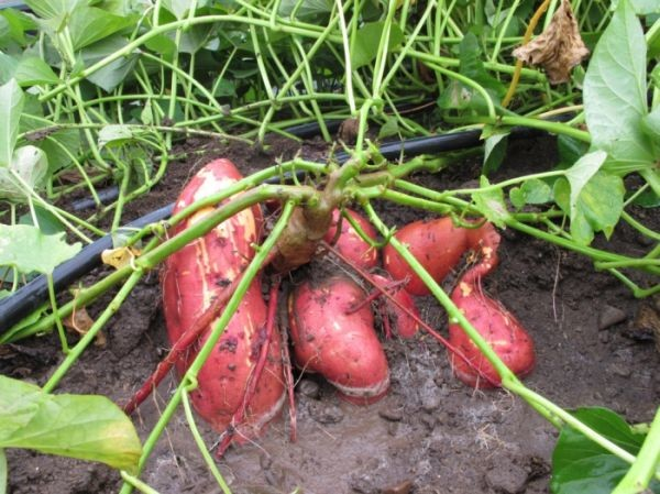Батат Экзотические растения, природа, съедобные растения