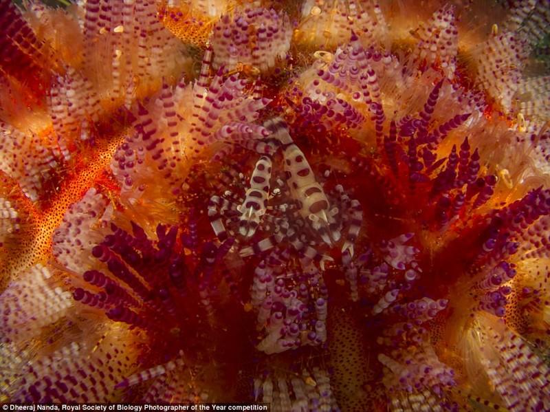 Креветки Колемана пытаются спрятаться в морском еже. Самка креветки заметно крупнее самца. Снимок сделан в Индонезии, фотограф Дхирай Нанда биология, макроснимки, макросъёмка, микрофотографии, микрофотография, претендент, фотоконкурс, фотоконкурсы. природа