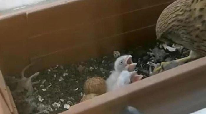 Гнездо сокола в неожиданном месте гнездо, птица, сокол