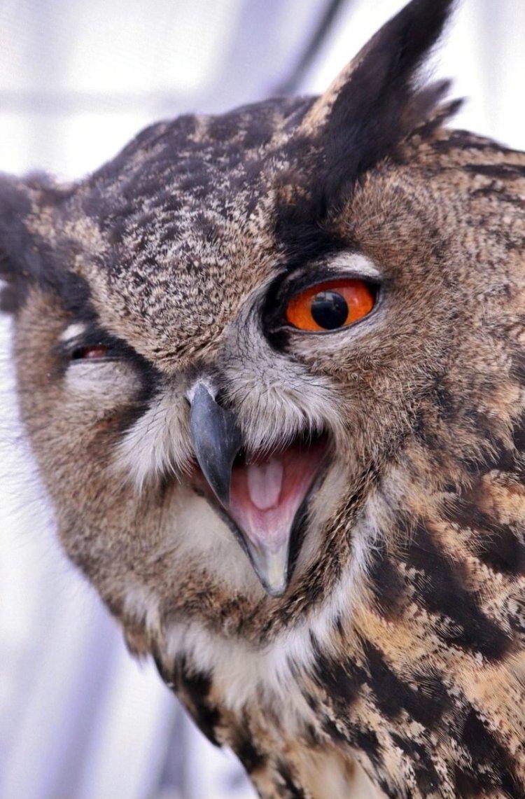 Бесшумная ночная смерть природа, птицы, совы