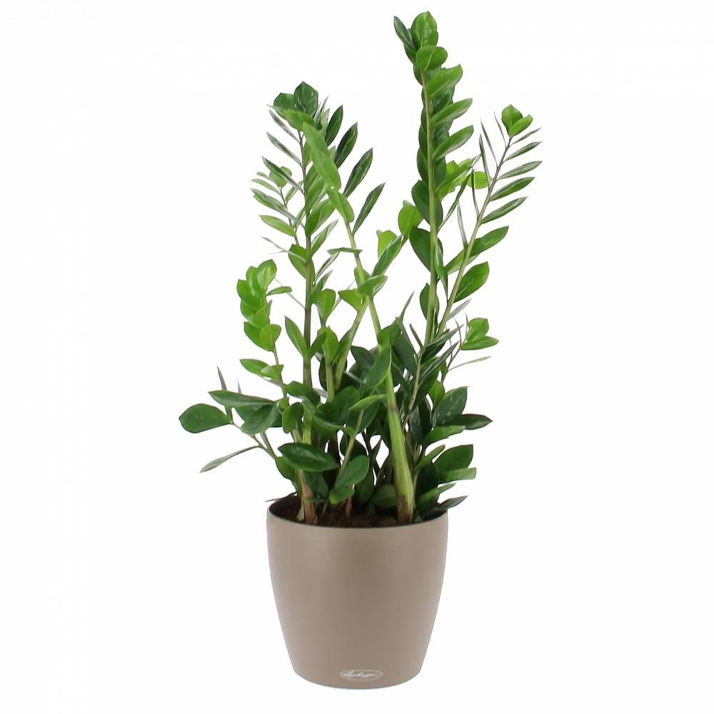 livraison zamioculcas en bac a reserve d eau la plante bac lechuza taupe plante de bureau foliflora