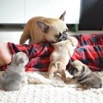 English Bulldog Puppies For Sale Miami Fl 289041